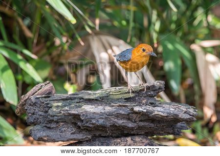 Bird (orange-headed Thrush) In A Wild
