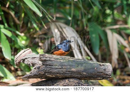 Bird (white-rumped Shama) In A Wild