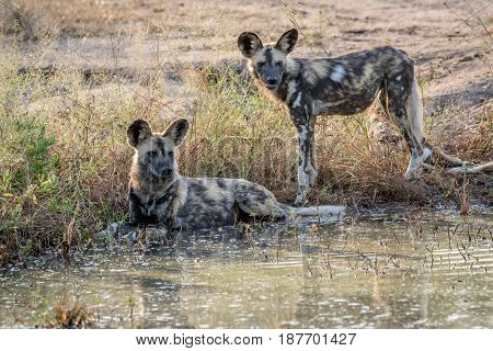 Two African Wild Dogs Next To The Water.