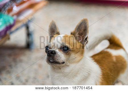 Dog Chihuahua Breed