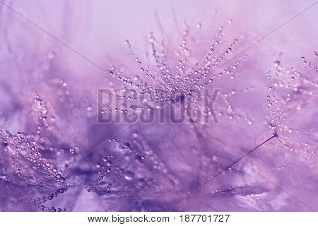 Dandelion macro with droplets of water. Gentle macro