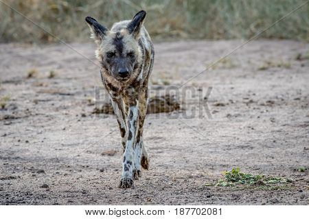 African Wild Dog Walking Towards The Camera.