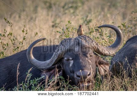 African Buffalo With A Red-billed Oxpecker.