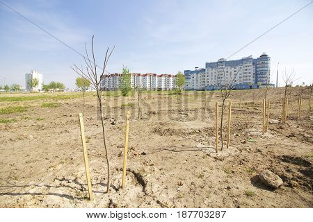 Green Zone In The Metropolis. Seedlings Of Trees Are Planted In Rows. Against The Background Of High
