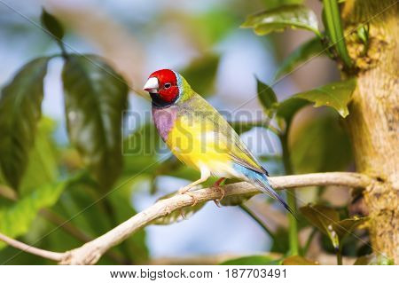 Gouldian finch ( Erythrura gouldiae) red black face bird hung on a branch