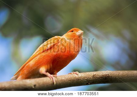 Red canary Serinus canariaon branch in forest