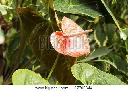 Anthurium or flamingo flower bloom in garden