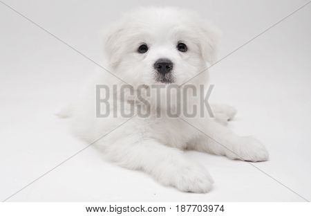 A Maltese puppy laying on the floor with white background