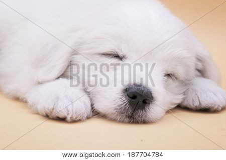 A Maltese puppy sleeping with orange background