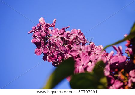 Beautiful branch of lilac bushes growing in the spring for a gift for a holiday mom