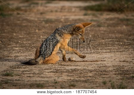 Black-backed Jackal Playing In The Sand.