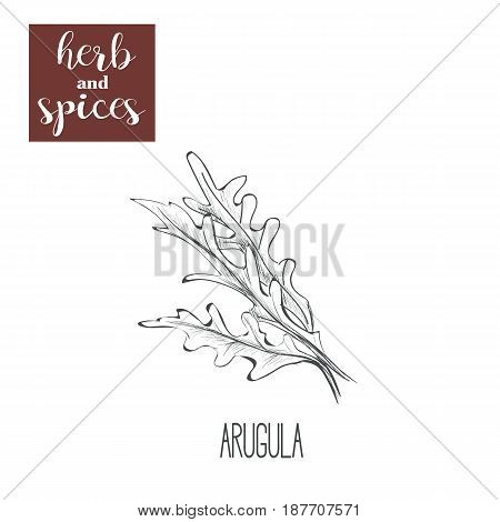 Arugula hand drawing. Herbs and spices. Vector illustration skech arugula