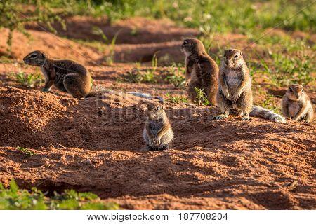 Ground Squirrels Standing Around The Nest.