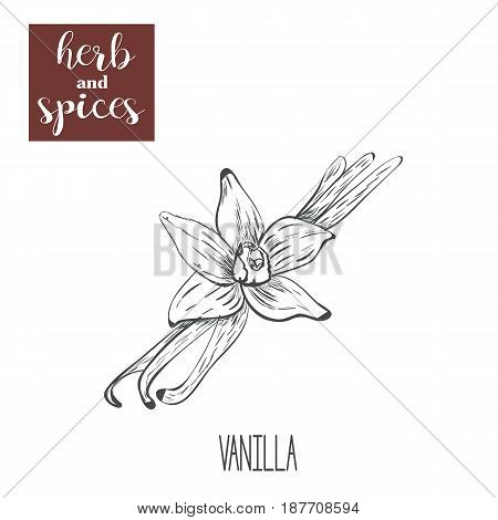 Vanilla hand drawing. Herbs and spices. Vector illustration of a sketch