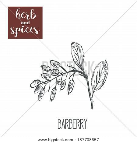 Barberry hands drawing. Herbs and spices. Vector illustration of a sketch