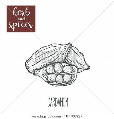Cardamom hand drawing. Herbs and spices. Vector illustration of cardamom sketch