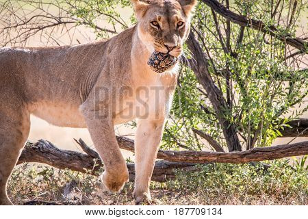 Lioness With A Leopard Tortoise Catch.