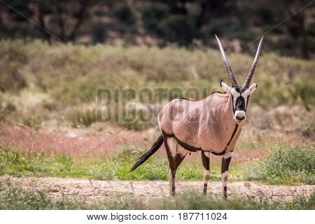 Gemsbok Standing In The Grass And Starring.