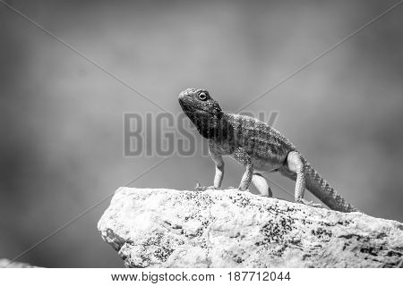 Ground Agama On A Rock In Black And White.