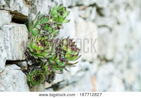 succulents growing out of wall concept desire to live