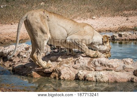 Lioness Drinking From A Waterhole.