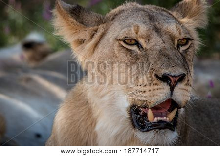 Side Profile Of A Starring Lion.