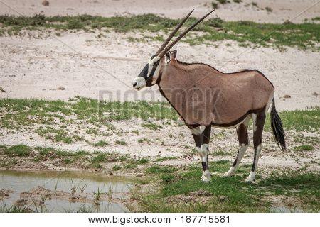 Side Profile Of A Gemsbok In Kgalagadi.