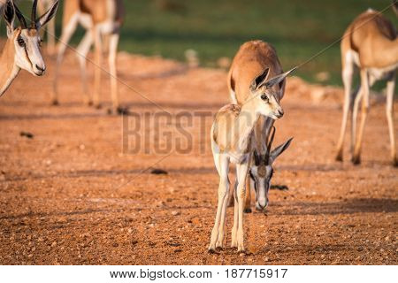 Baby Springbok Standing On A Gravel Road.