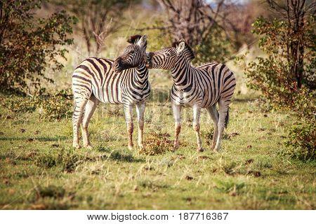 Two Zebras Bonding In Etosha.