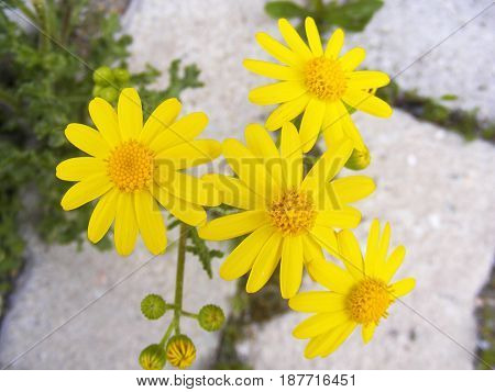 The most beautiful yellow daisy flower, the yellow daisy.
