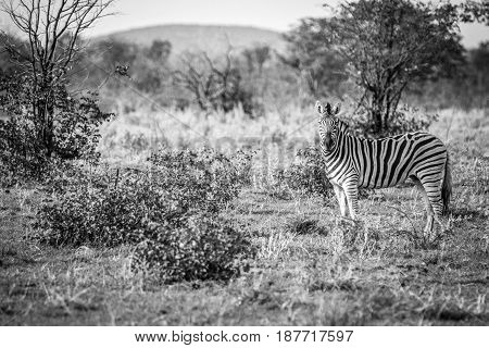 Zebra Starring At The Camera In Black And White.
