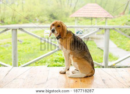 Sad dog sitting alone on the floor of the veranda.