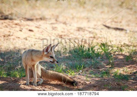 Side Profile Of A Cape Fox In Kgalagadi.
