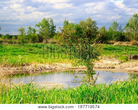 Beautiful nature under a blue sky a young tree grows near a swamp around a bright green grass and above the blue sky
