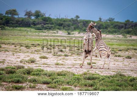 Two Zebras Fighting In Etosha.