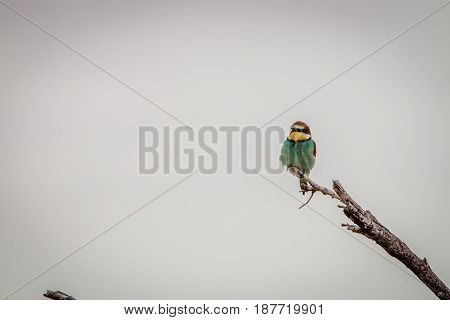 European Bee-eater Sitting On A Branch.