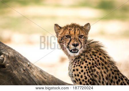 Cheetah Looking Around In Kgalagadi.