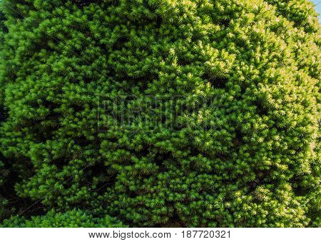 A macro shot of a green shrub. Background or texture.