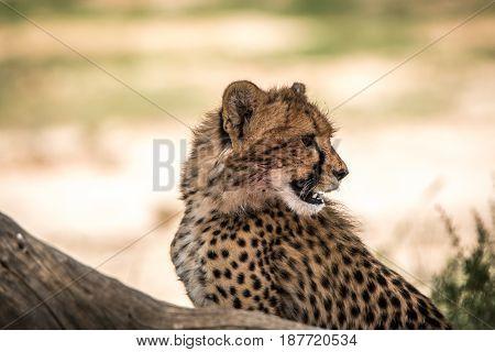 Side Profile Of A Cheetah In Kgalagadi.