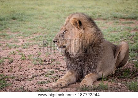 Big Male Lion Laying In The Grass.