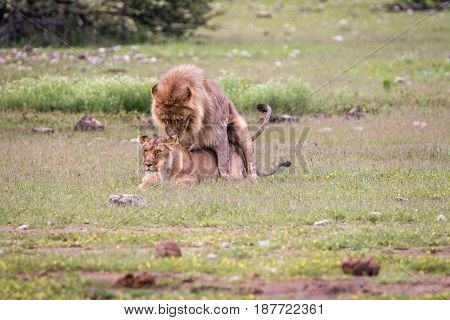 Lion Couple Mating In The Grass.