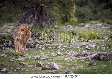 Young Male Lion Walking In The Grass.