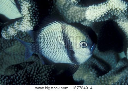 A Reticulated Damselfish, (Dascyllus reticulatus) swims near coral at the Kwajalein Atoll in the Pacific