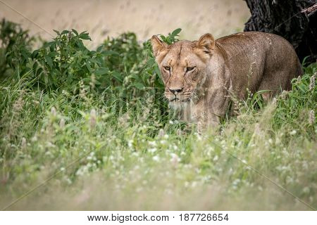 Lion Walking Towards The Camera In The High Grass.
