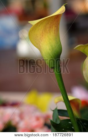 calla zantedeschia blossomed between the leaves of the garden