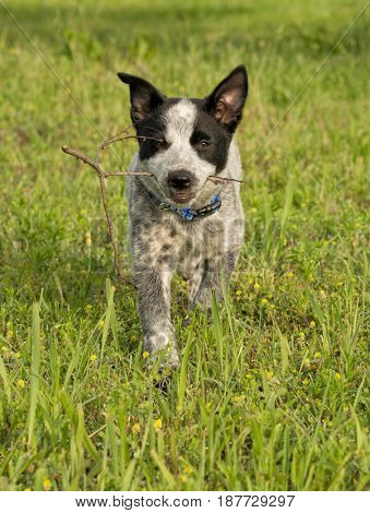 Texas Heeler puppy carrying a small stick she found