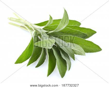 Sage plant in closeup