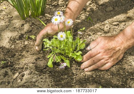 A Man Does Planting Flowers. Beautiful Nature. Garden Decoration.