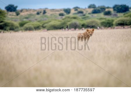 Lion Standing In The Grass And Looking Back.