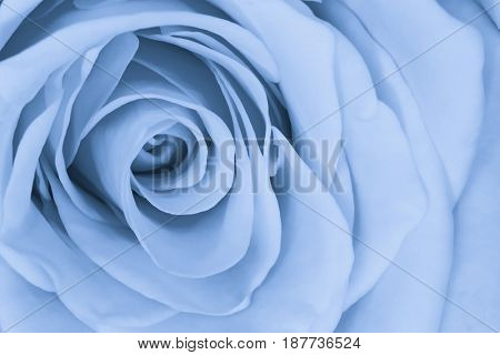 close up of blue rose petals